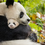 Disneynature's Born In China Movie Review #BornInChina